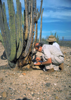 Phaff and Starmer collecting yeast from a cactus in Baja California, Mexico, 1976